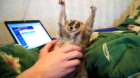 Slow Loris tickled :)