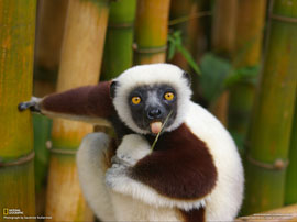 The Lemur (click to enbiggen)