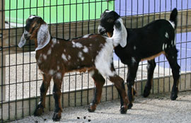 ZooBorns: Nubian goat kids