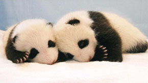 ZooBorns: Panda cubs growing in size and cuteness :)