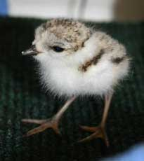 ZooBorn: Piping Plover chick