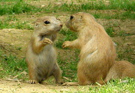 ZooBorns: Prairie Dog pups