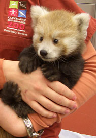 ZooBorn: A little Red Panda