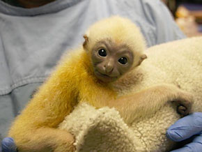 ZooBorn: a baby Gibbon