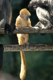 ZooBorn: a baby Silvery Langur