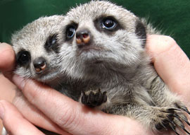 ZooBorns: more Meerkats!