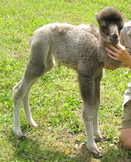 ZooBorn: baby Bactrian camel