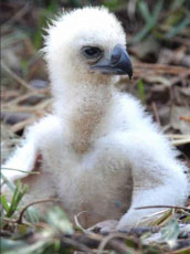 ZooBorn: Harpy Eagle chick