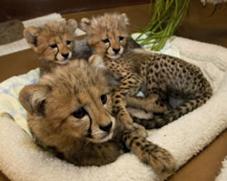 ZooBorns: little Cheetahs