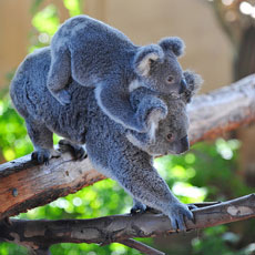 ZooBorn: a little Koala hitches a ride