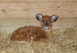 ZooBorn - little Sitatunga