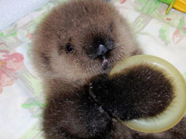 ZooBorn: orphaned baby sea otter