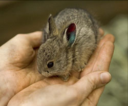 ZooBorn: world's smallest rabbit