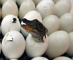 just-born Siamese crocodile