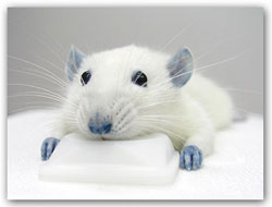 blue rat: turns out blue food coloring un-paralyzes rats