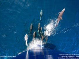 dolphins leaping off the bow of an oceanic research vessel