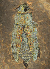 47 million year old fossilized jewel beetle