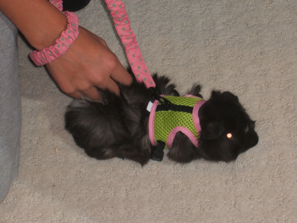 smokey in harness