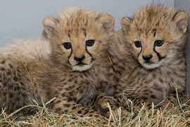 ZooBorns: Cheetah cubs!