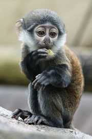 ZooBorn: a baby L'Hoest's monkey