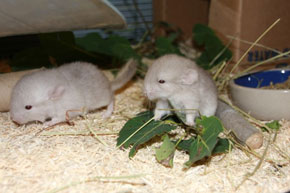ZooBorns: baby Chinchillas