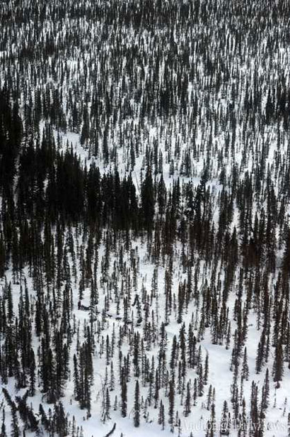 An Iditarod musher races through the woods outside McGrath