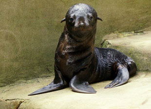 ZooBorn: South African fur seal pup