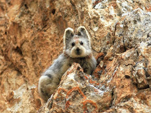 "the Ila Pika (""magic rabbit"")"