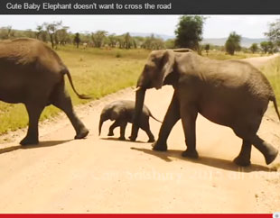 baby elephant gets help crossing a road