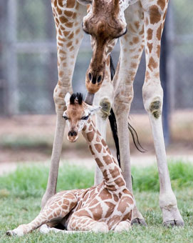 Zooborn: baby giraffe arrives with the new year