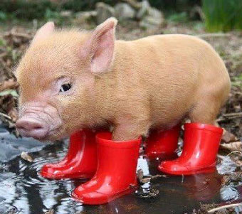 little pig in boots